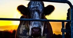 Cowspiracy_boyswithbeards
